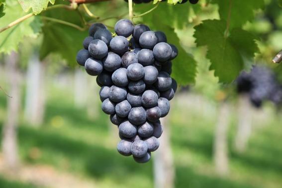 grape-2911039_640