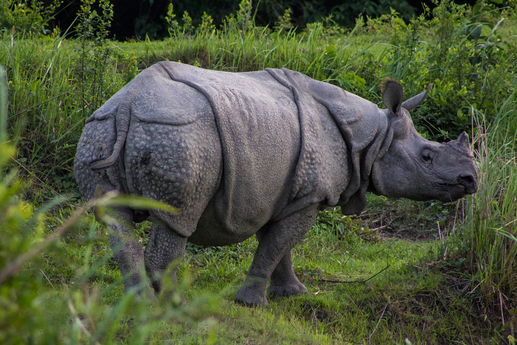 One Horned Rhino - Courtesy Outlook India